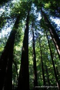Redwood Trees || Muir Woods || Dirt In My Shoes