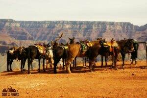 South Kaibab Trail Mules || Grand Canyon National Park || Dirt In My Shoes