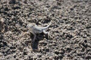 Lizard || White Sands National Monument || Dirt In My Shoes